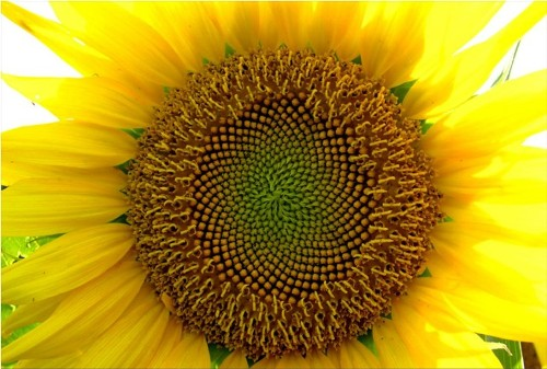 Yellow color. Sunflower - the most famous and vibrant symbol of the sun