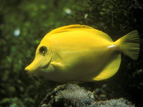 Yellow color. Yellow elephant fish