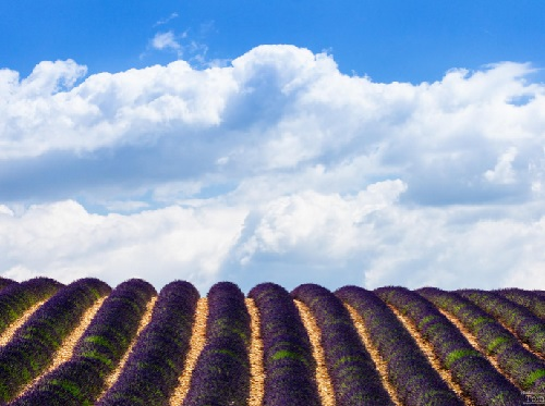 Clouds over lavender field near Valensole in Provence