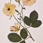 Ancient drawing. Darwin Museum Herbarium collection, Moscow