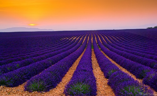 Lavender field at sunset. Plateau de Valensole, Provence