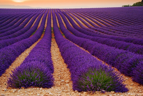Lavender fields at Valensole. Photography by Tomas Vocelka