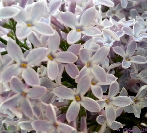 Smell of lilac