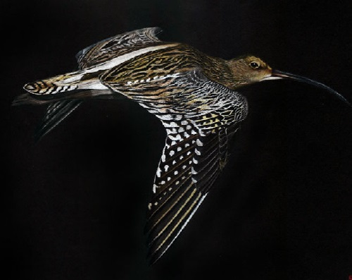 The Eurasian curlew (Numenius arquata)