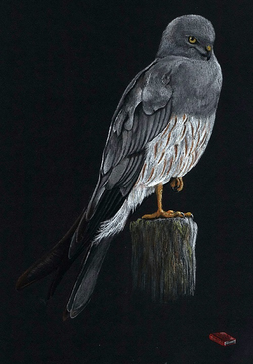 The Montagu's harrier (Circus pygargus)