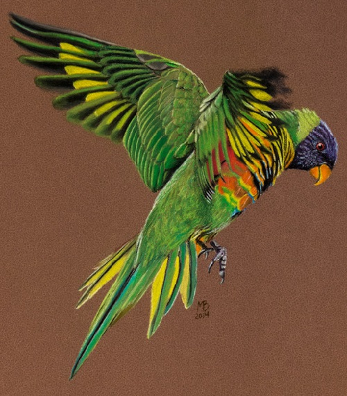 The rainbow lorikeet (Trichoglossus moluccanus)
