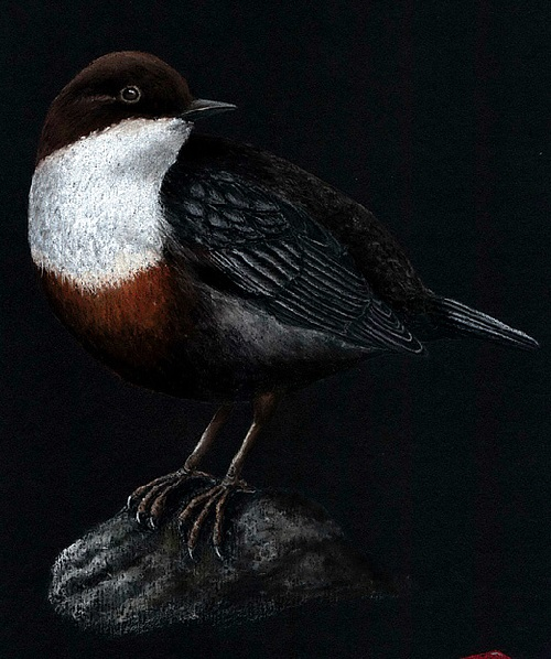 The white-throated dipper (Cinclus cinclus). Pastel drawings by Mikhail Vedernikov