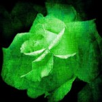 Light Green rose