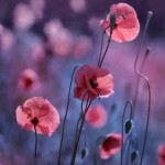 Poppies. Photo art by Belarusian photographer P. Laura, Minsk