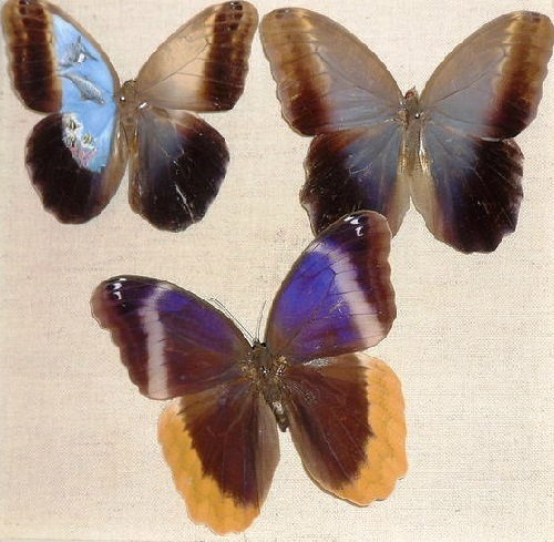 Inspired by Renaissance masters Mexican artist Cristiam Ramos paints on real butterfly wings