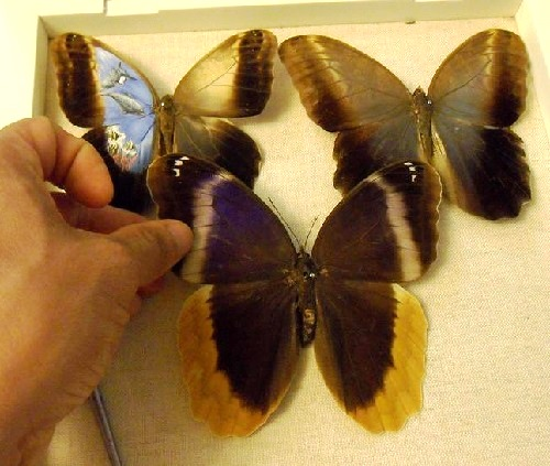 Buterfly wings as canvas for the talented Mexican artist Cristiam Ramos