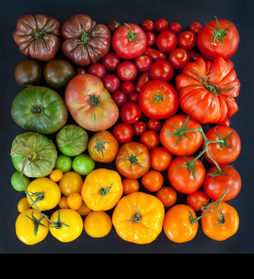 Tomato of all colors and sizes. Tomato Season