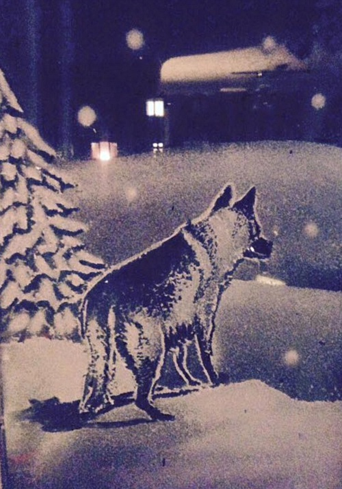 Alsatian dog in the pine wood. Snow Windows by Tom Baker