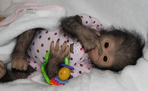 Realistic baby monkey made 41 cm, weight 1500 gr. Each hair is inserted one by one (completely hairy monkey). Brown eyes of German glass.