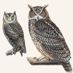 Owl illustrations by Patricia Ferrer