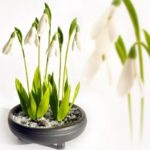 Snowdrops - the first messengers of the most warm and gentle spring sun
