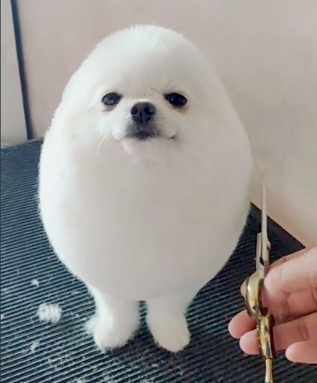 Cute white dog after haircut