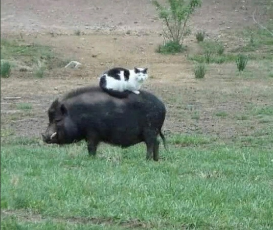Riding on a pig black and white cat photo