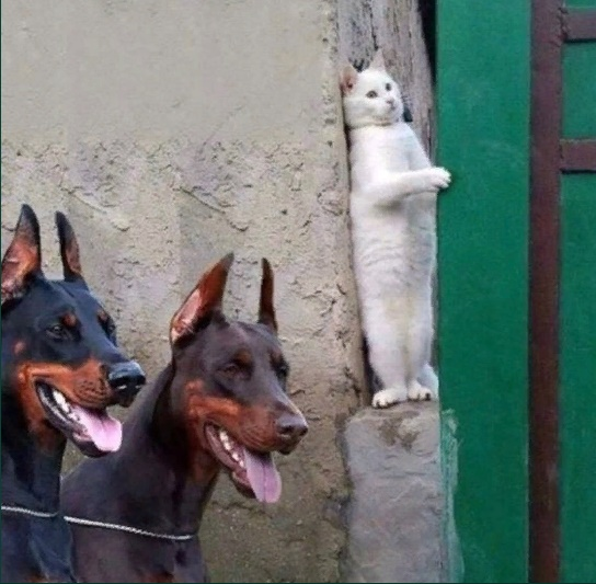 White cat hiding from two doberman dogs photo