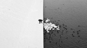 A man feeding swans in winter