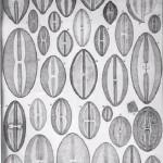 Wonderful variety of diatom specimens