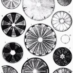 Wonderful variety of diatom specimens