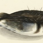 Unique drawings of fishes by William Buelow Gould