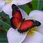 Dark red butterfly