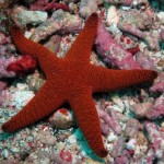 Gorgeous Bordeaux starfish