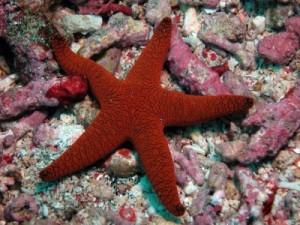 Gorgeous Bordeaux starfish