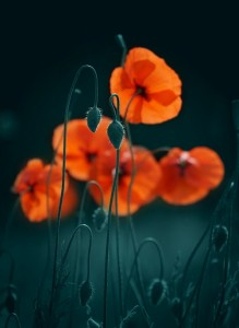 Poppies. Photo art by Belarusian photographer P. Laura, Minsk
