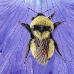 Iris symbolism and painting