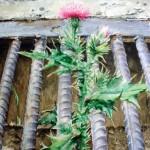 Growing through steel grating Thistle