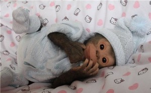 Awesome work of applied art – Chita Bindi Realistic baby monkey doll. Made by Russian artist Ekaterina Samgina