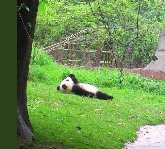 Panda on the grass photo