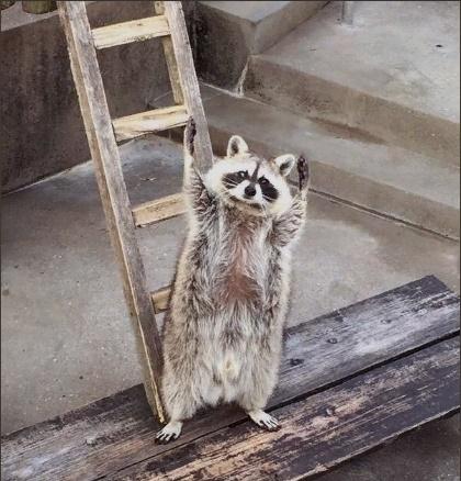 Raccoon hands up photo